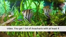 Aquarium Plants Dwarf Baby Tears Experts United Kingdom