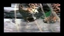 Crocodile vs Jaguar_Lion Attack Friendly Powerful and Most Dangerous  Best Wild Animal Videos Full length BBC documentary 2015 Top 5 Wild Animal Attacks Lions DEADLY ATTACK on ANIMALS - Lions fighting to death Wild HQ Lions Most Powerful and Dangerous Att