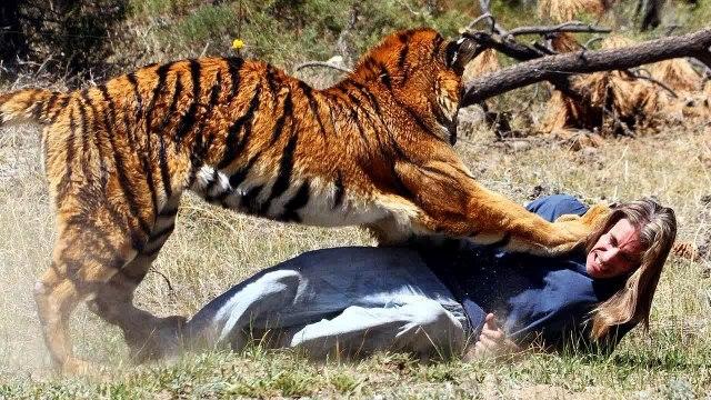 Wild Animal lions Couple Attacked Buffalo Safari2 NEW@croos