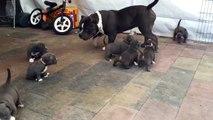 Un énorme papa pitbull pris d'assaut par 9 chiots complètement déchaînés