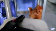 Chats sécheuse. Funny cats sont en guerre avec sèche-cheveux