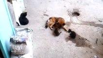 Cette maman chat vient présenter ses petits à son ami le chien