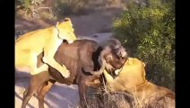 Amazing Shark Attack on Giant Whale_ Hundreds of Sharks_ Wild Animal Attacks  Wild Animals Trying to Attack on Baby Wild Animal lions Couple Attacked Buffalo Safari2 NEW@Wild Animal lions  Amazing.. Lion vs Buffalo Headbutts Into the Air!!_(1080p)