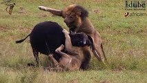 Ataques de animales salvajes - Wild Animal Attacks Animal Fights - Best Wild Animal Fights  Lion Attack Compilation New!!!   [Full HD]