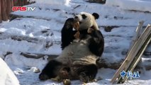 Cute pandas kick back and relax in the snow in Changchun