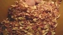 Bébé cochon réveillé pendant sa sieste... Trop mignon