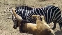 Amazing Lion vs Zebra  Lion kills zebra almost Lion hunting zebra Zebra escapes lion kill