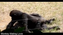 Chimpanzee Mating Season is Here at Kansas City Zoo - video