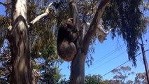 Buzz :  Cette femelle koala se fait jeter de son arbre... et elle est vénère !