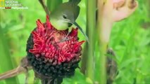 Most Beautiful Colorful Birds National Geographic Documentary