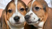 Les premiers bébés chiens éprouvettes ont vu le jour