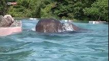 Piscine transparente dans un zoo pour voir les éléphants nager