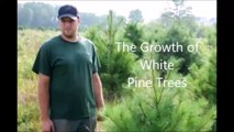 The Growth Of White Pine Trees