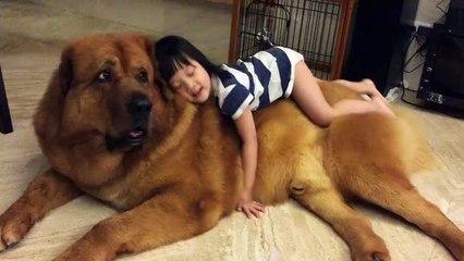 Gentle Giant Mastiff Plays With Baby