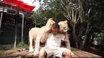 Very affectionate lions. Funny lions cats
