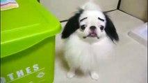 Sobrancelhas falsas em cães. Diversão com cães