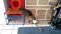 Monkeys irritar gatos e cães - animais engraçados