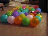 Obcecado com o cão. Cão engraçado come balões
