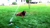 Pulverizadores Cães Lawn  cães diversão