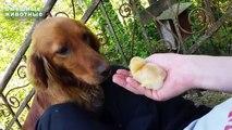 Le chien voit d'abord les poulets. La première réunion d'un chien avec un poulet