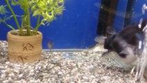 Un poisson-chat avale un autre poisson de sa taille dans un aquarium.