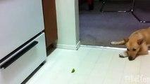 Chiens essaient citron. Funny Dog et Citron