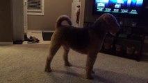 Un chien sans cordes vocales essaye désespérément d'aboyer