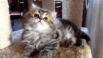 Tiny sister conquers Big Brother  Kitten Panda vs. Cat Rocky