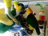 Perroquets drôles ayant amusantes