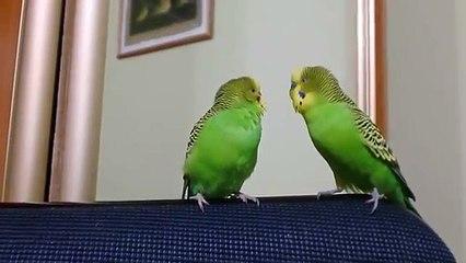 Dois Papagaios falar uns com os outros