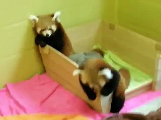 Duas pandas pequenos engraçados