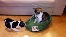 Un chiot veut son panier mais le chat ne bouge pas