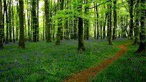 Relax-Mozart in a peaceful bluebell wood-Tranquil music-Calming beautiful sounds of nature