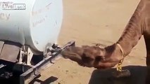 Smart Camel - Chameau intelligent