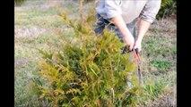 Trimming Arborvitae Demonstration     The Green Giant Arborvitae