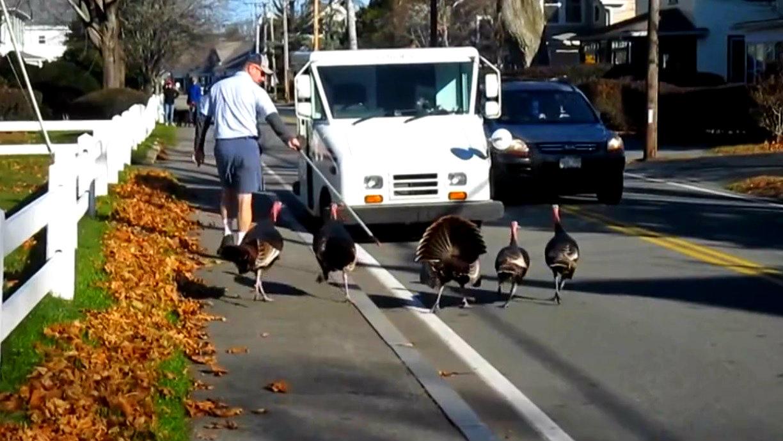 Turkeys Attack Mailman Every Day