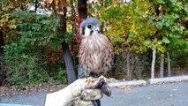 Un faucon fait la dance du ventre. Adorable