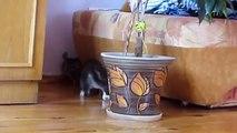 Jeux chaton avec chinchilla