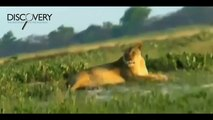 Lions Attack Hyenas - Lions Hunting Hyenas and More - Lions Documentary [National Geographic]