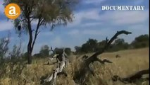 Lions Documentary - Hyenas Attack and Eat Lion - Documentaries Films
