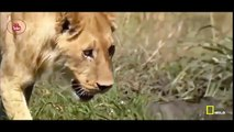 Lions Documentary - Wild Lions And Action - Lions Family Hunting (OFFICIAL)