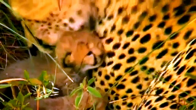 Documentary Animals African – Wild Lions Animals – National Geographic Animals HD
