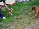 ★ BOXER PELEA CONTRA UNA ESTATUA ★ Perros Locos - Humor Perros - Perros Divertidos Chistos
