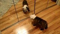★ BULLDOG SE ENFRENTA A EL MISMO, JAJA ★ Perros Locos - Humor Perros Perros Divertidos Chi