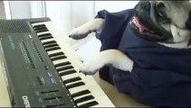 ★ PERRO TOCANDO EL PIANO!! Perros Locos Humor Divertidos Chistosos risa