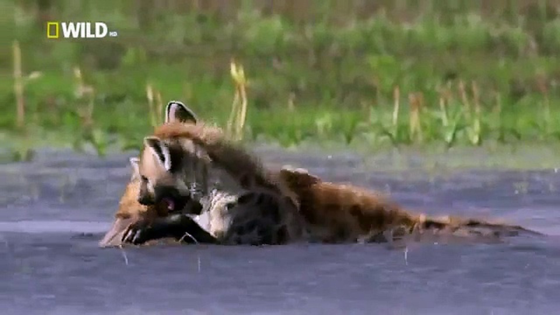 Discovery Channel || Discovery Channel Animals || Hyena Documentary
