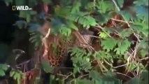 Leopard Kill Full documentary wildlife nature Animal planet Amazing || Animals Planet Discovery