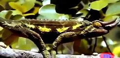 Lizard Attack Wildlife Documentary National Geographic Animals || Animals Planet Discovery