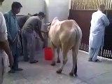 Bakra Eid 2015 - Cow Qurbani Funny Moments Cow Qurbani Cow Qurbani -> Must Must Watch