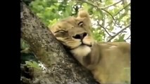 Crater Lions of Ngorongoro African Animals Wildlife Full Documentary #HD 2015 720p